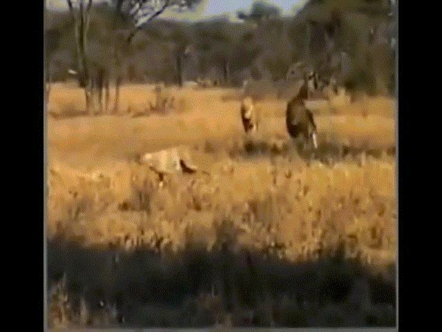 Video: Chủ quan khinh địch, báo đốm thành mồi ngon dưới móng vuốt sư tử