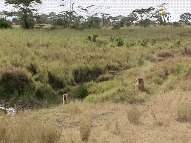 Video: Hoa mắt vì đói, linh cẩu định ăn thịt sư tử non nhưng phải trả cái giá khó ngờ