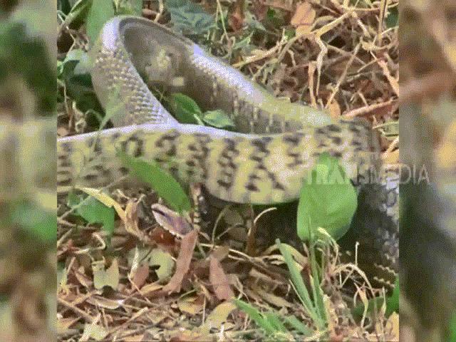 Video: Đen đủi gặp kẻ đi săn lão luyện, rắn hổ trâu bị hổ mang chúa nuốt chửng