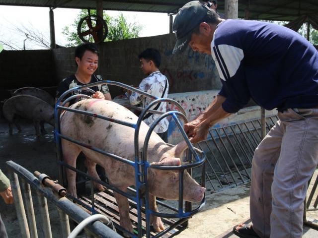 Giá lợn hơi giảm mỗi ngày, hộ chăn nuôi ngậm ngùi ôm lỗ cả triệu đồng/con