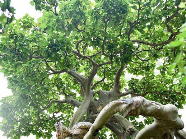 Cận cảnh cây bồ đề hàng trăm năm tuổi khiến đại gia săn lùng