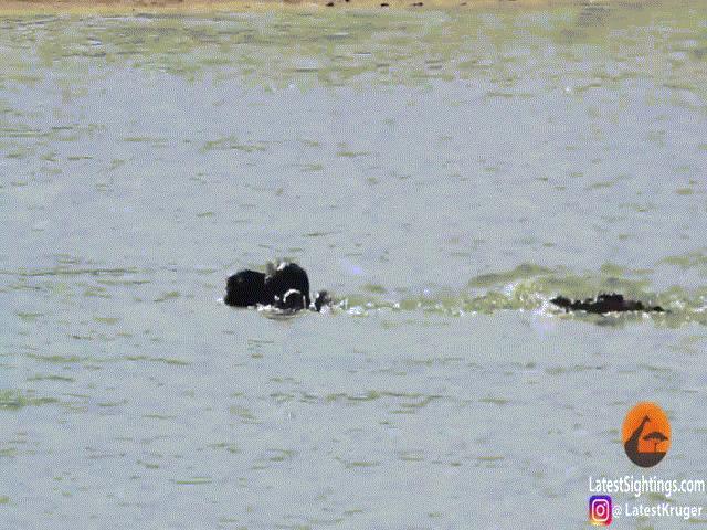 """Video: Lên bờ, xuống nước đều gặp """"kẻ địch"""", trâu rừng vẫn thoát chết một cách ngoạn mục"""