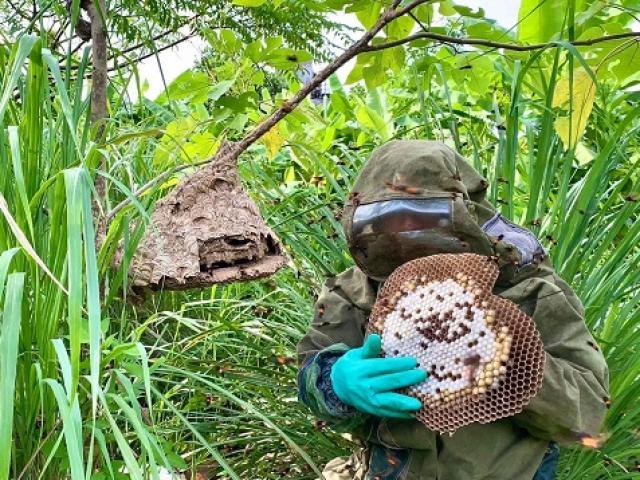 Nghề lạ mới nổi: Nuôi ong kịch độc lấy thịt, thương lái lùng mua nửa triệu đồng/kg