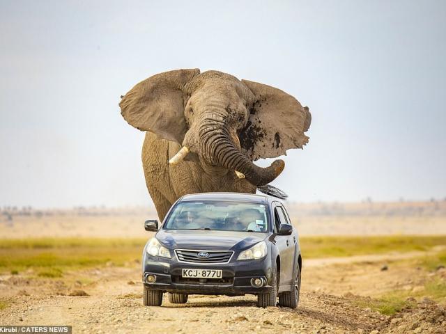 """Kinh hãi voi khổng lồ """"giận cá chém thớt"""", truy đuổi toan nghiền nát xe ô tô"""