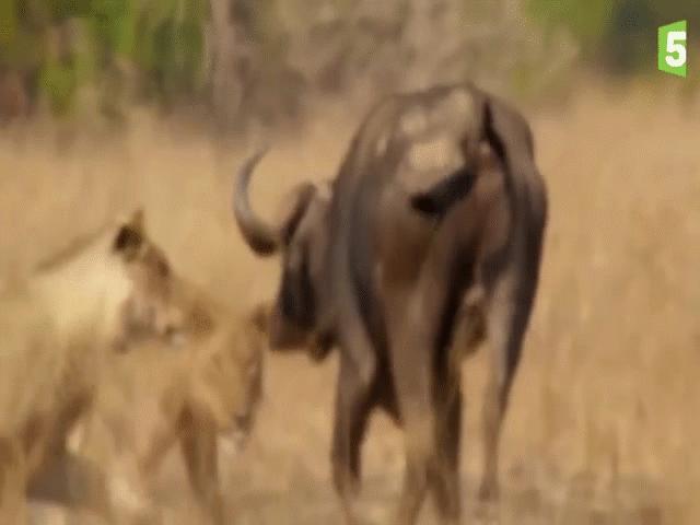 """Video: Lao vào """"đánh chén"""", sư tử bị trâu rừng bất ngờ """"lật kèo"""", lĩnh trọn cú húc tử thần của con mồi"""