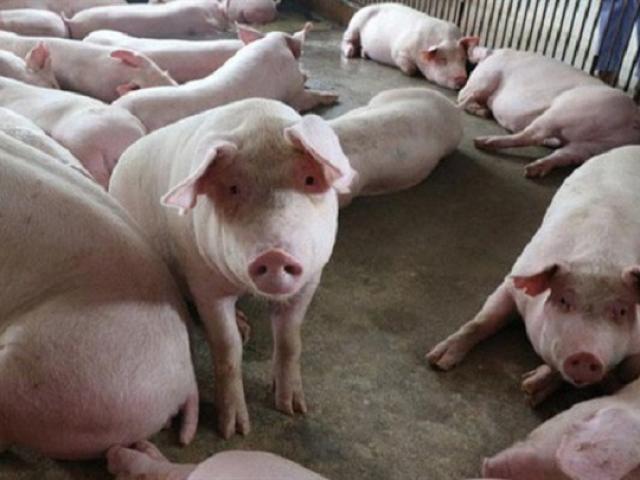 """Lợn hơi đột ngột tăng giá: Đến thời thịt lợn """"đắt như vàng"""" trở lại?"""