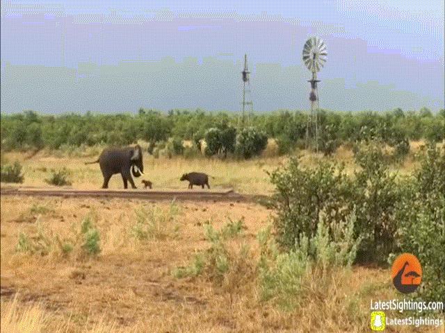 """Video: Trâu rừng chơi chiêu độc khiến con vật to lớn này phải bỏ chạy """"bán sống, bán chết"""""""