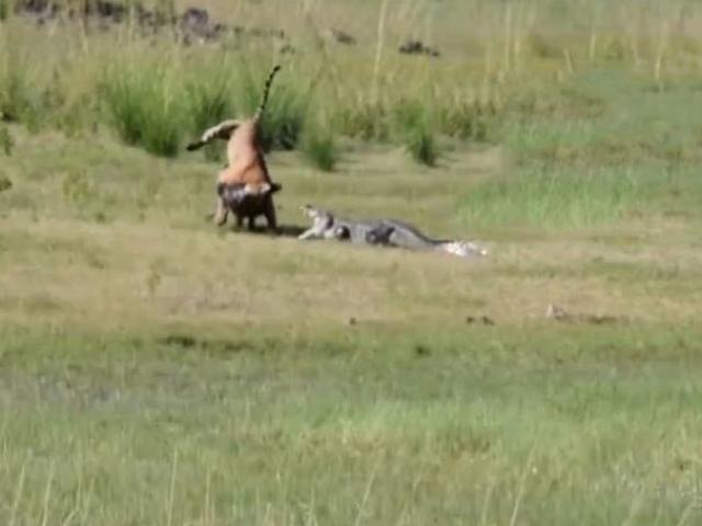Đang chiến đấu với lợn rừng, hổ bị cá sấu cắn lén và kết cục