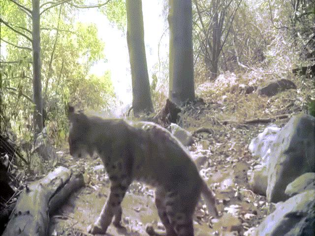Video: Đụng độ rắn độc khét tiếng, linh miêu dùng móng vuốt hạ sát con mồi