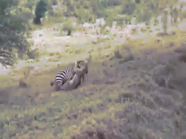 """Video: Sư tử bị ngựa vằn kéo kê """"xềnh xệch"""" qua đường"""