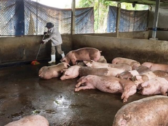 """Dịch tả heo châu Phi rình rập: Nhiều hộ chăn nuôi bán tháo đàn """"chạy dịch"""""""
