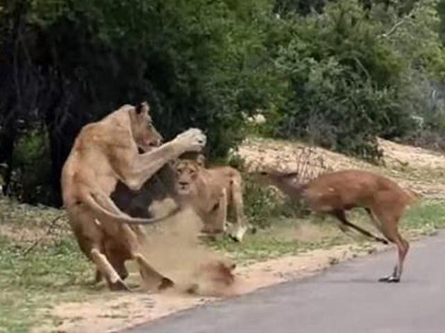"""Con hươu chạy thục mạng """"rơi đúng miệng"""" sư tử"""