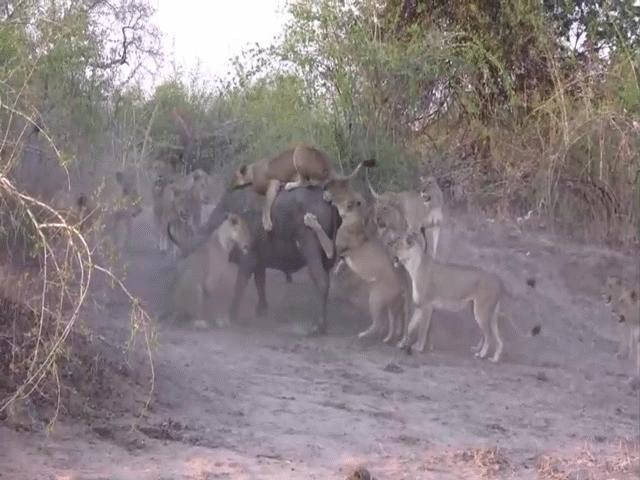 """Video: Bị 20 con sư tử lao vào cắn xé, trâu rừng phản đòn """"cực gắt"""""""