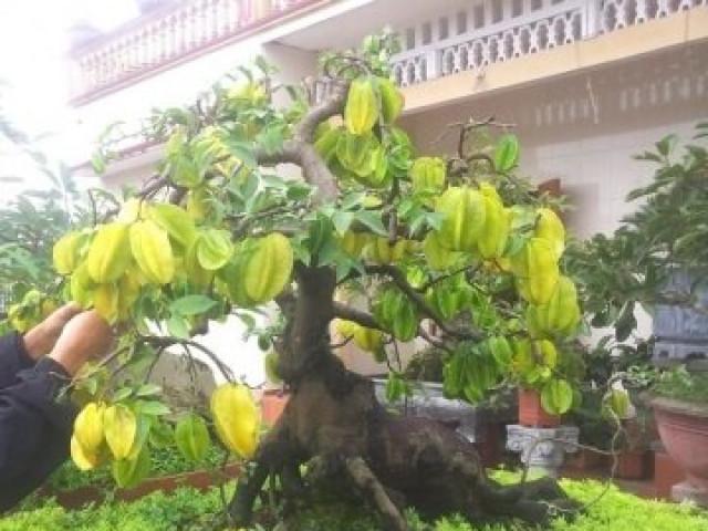 """Cận cảnh cây khế bonsai thế dáng đẹp lạ nhưng có giá """"rẻ"""" như cho"""