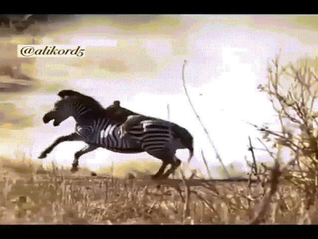 """Video: Ngựa vằn hành sư tử """"thừa sống thiếu chết"""""""
