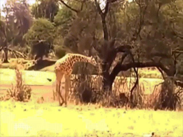 """Video: Bay người lên không, sư tử hạ gục hươu cao cổ bằng ngón đòn """"cực lạ"""""""
