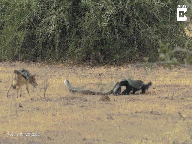 Video: Bị đẩy vào thế 2 gọng kìm, lửng mật khôn ngoan thoát khỏi sự săn đuổi của trăn khổng lồ và chó rừng