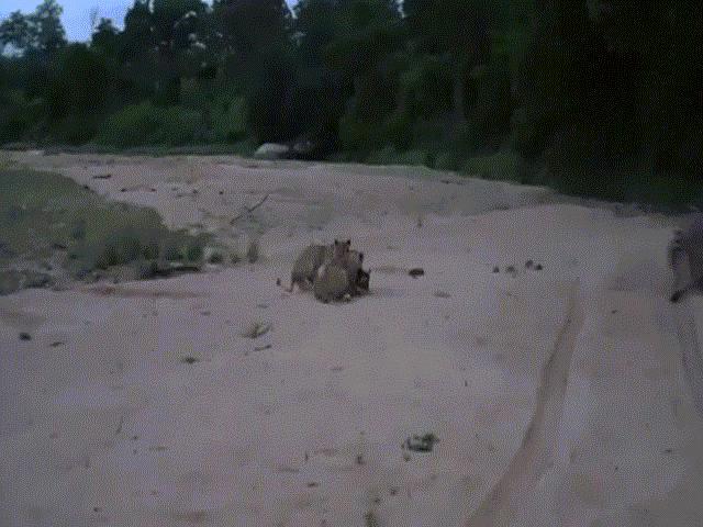 Video: Bị bầy sư tử vây hãm, ngựa vằn mẹ tung cú đá hậu cứu con