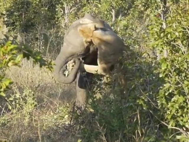 Sư tử cắn đầu voi con đòi ăn thịt và cái kết đau đớn của kẻ săn mồi