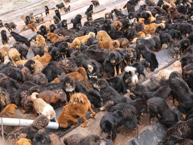 Hàng trăm ngàn chó ngao Tây Tạng hết thời đang gây họa ở Trung Quốc