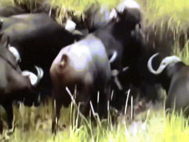 """Video: Cả gan giết chết nghé con, sư tử bị """"500 anh em"""" trâu rừng đánh hội đồng"""