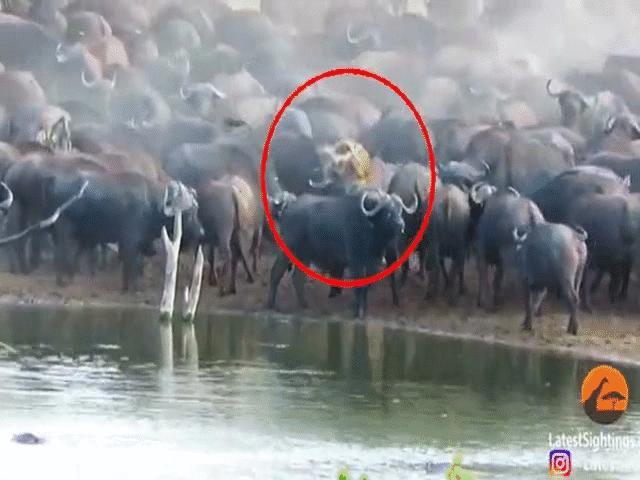 """Video: Đi lạc đúng vào """"địa bàn"""" của trâu rừng, sư tử cái nhận cái kết sốc"""