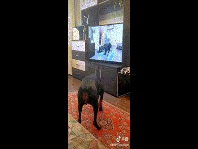Clip: Chó thông minh bắt chước tập yoga khiến ai cũng bất ngờ