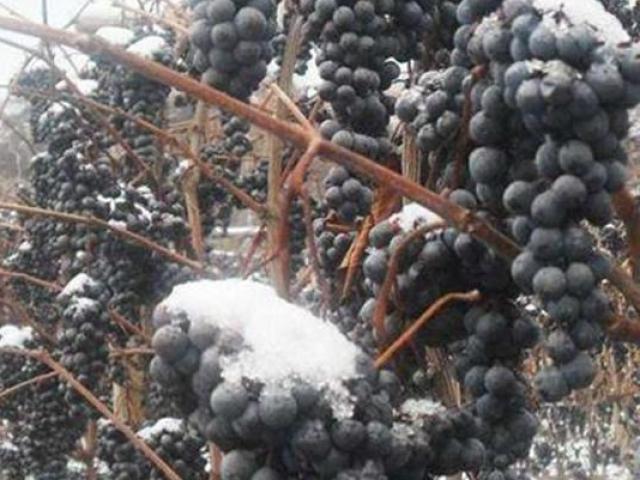 Quên không hái nho, đến ngày tuyết rơi phát hiện bán được giá gấp nhiều lần