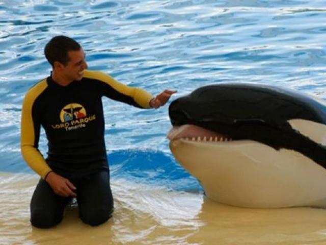 """Bí ẩn cá voi sát thủ bất ngờ """"nổi điên"""", tấn công người huấn luyện đến chết"""