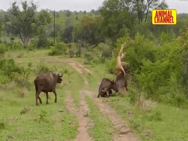 Video: Đang ghì chặt con mồi, sư tử cái bị trâu rừng húc văng lên không trung