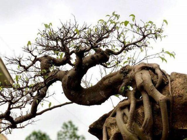 """Ngắm cây sanh thế lạ ký vào phiến đá """"khủng"""""""