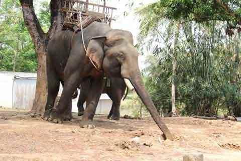 """Ép voi """"yêu"""", đẻ thành công lĩnh 400 triệu - 1"""