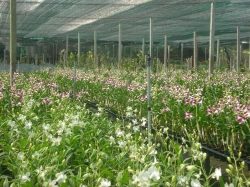 Giá hoa lan dự kiến tăng 20% - 1