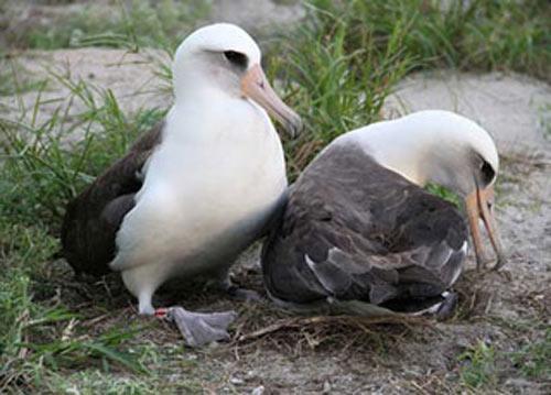 """Bất ngờ về """"cụ"""" chim già nhất thế giới - 1"""