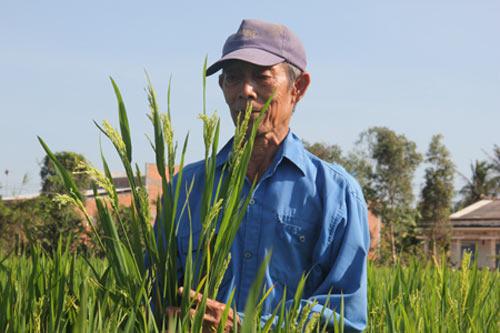"""Người Trung Quốc thuê đất trồng """"lúa lạ"""" - 1"""