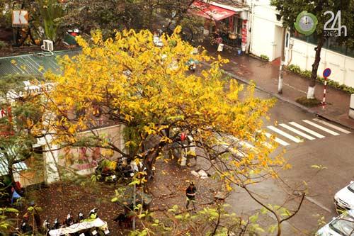 HN: Phố phường rực rỡ sắc vàng lá sưa đỏ - 1