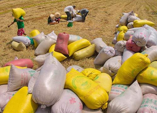 Tạm trữ lúa gạo: Chủ yếu bán qua thương lái - 1