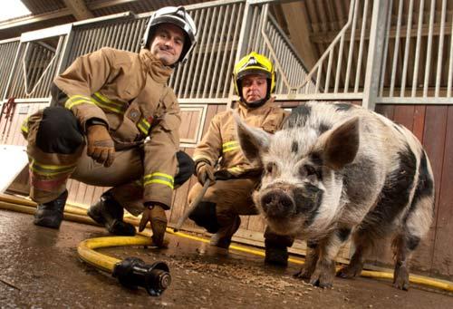 Chú heo giúp lính cứu hỏa giải cứu động vật - 1