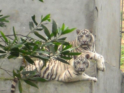 Kỳ lạ hổ vàng Nghệ An đẻ ra… hổ trắng vằn đen - 1