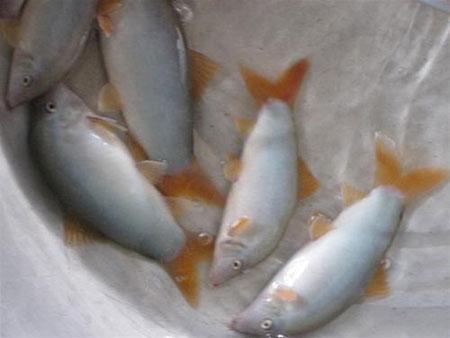 """Về Châu Phú ăn """"cá heo nước ngọt"""" - 1"""