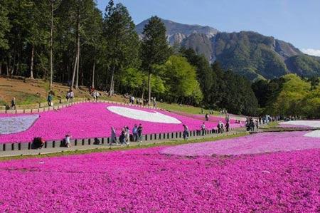 Hồng rực góc trời sắc hoa chi anh Nhật Bản - 1