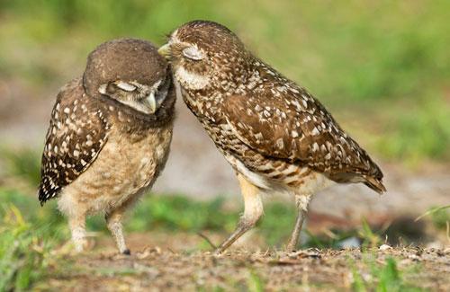 Ảnh đẹp: Chim cú tình tứ trên đồng cỏ - 1