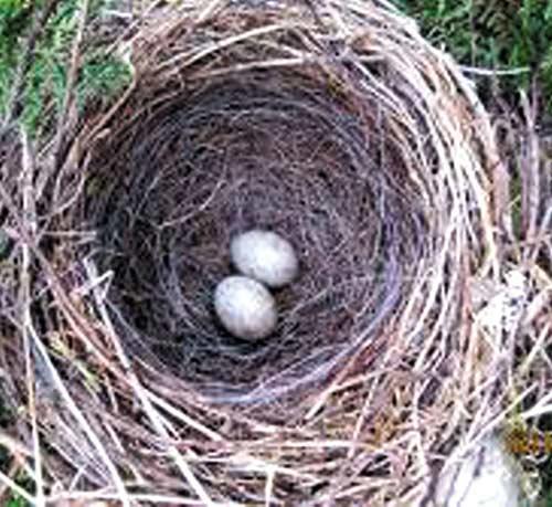 """""""Tinh binh"""" khỏe nhờ trứng chim sẻ - 1"""