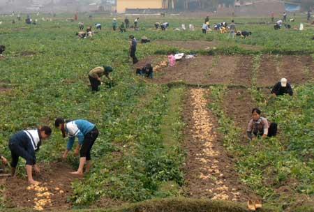 Trồng khoai tây... lãi gấp 5 lần trồng lúa - 1