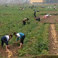 Trồng khoai tây... lãi gấp 5 lần trồng lúa