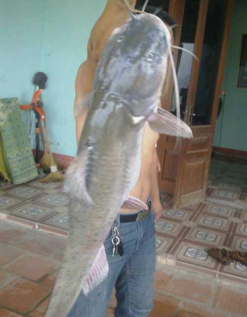 """Bắt được cá lăng """"khủng"""" nặng 54kg - 1"""