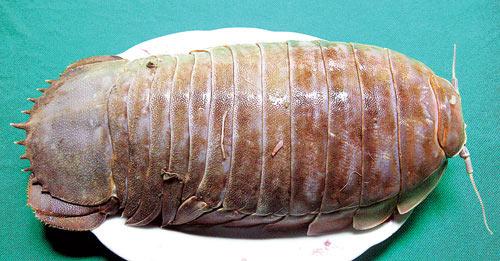 Bò bọ ngó rau răm - 1