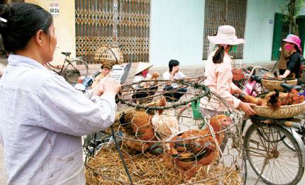 Lo ngại gà thải loại Trung Quốc tràn về Thủ đô - 1