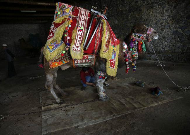 Cuộc thi dau vat lạc đà nằm trong lễ hội thường niên Selcuk-Efes Camel Wrestling được tổ chức tại thị trấn Selcuk gần thành phố Izmir, Thổ Nhĩ Kì