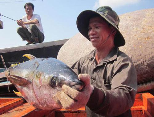 Ngư dân Quảng Ngãi trúng lớn cá ngừ đại dương - 1